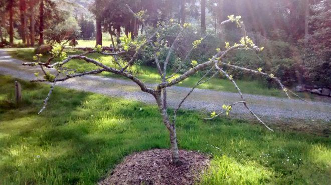 treebudding