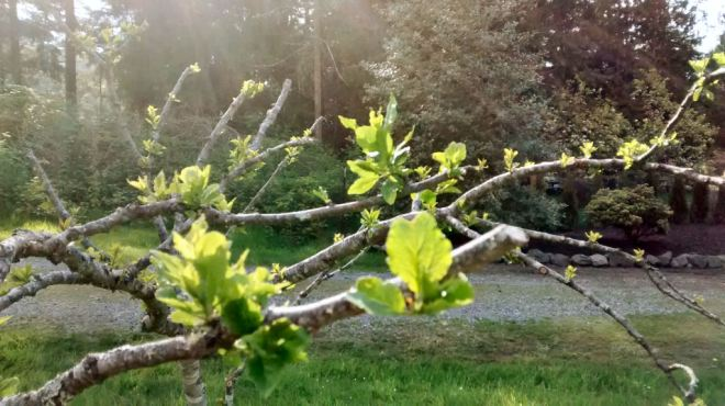 treebudding2